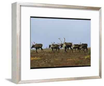 A Group of Caribou in a Tundra Landscape-Norbert Rosing-Framed Photographic Print