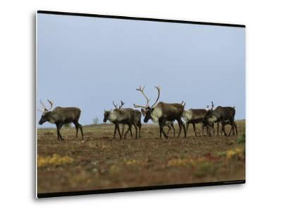 A Group of Caribou in a Tundra Landscape-Norbert Rosing-Metal Print