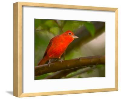 Summer Tanager (Piranga Rubra) Perched on Branch in Forest-Roy Toft-Framed Photographic Print