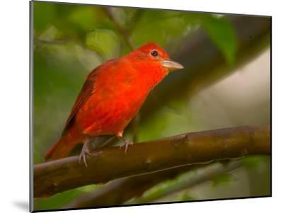 Summer Tanager (Piranga Rubra) Perched on Branch in Forest-Roy Toft-Mounted Photographic Print