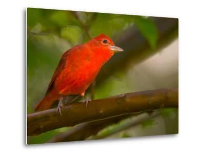 Summer Tanager (Piranga Rubra) Perched on Branch in Forest-Roy Toft-Metal Print