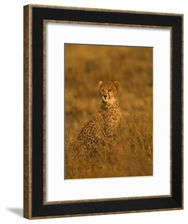 A Young Cheetah Sitting in Grass Illuminated in a Golden Light (Acinonyx Jubatus)-Roy Toft-Framed Photographic Print