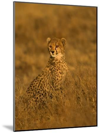 A Young Cheetah Sitting in Grass Illuminated in a Golden Light (Acinonyx Jubatus)-Roy Toft-Mounted Photographic Print