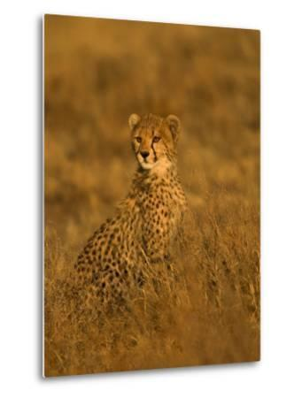 A Young Cheetah Sitting in Grass Illuminated in a Golden Light (Acinonyx Jubatus)-Roy Toft-Metal Print