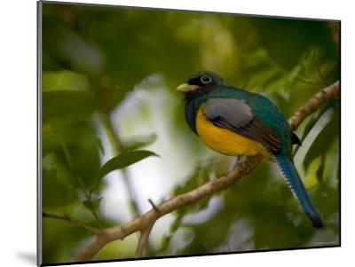 A Male Black-Throated Trogon Perched on a Branch in a Forest. Trogon Rufus-Roy Toft-Mounted Photographic Print