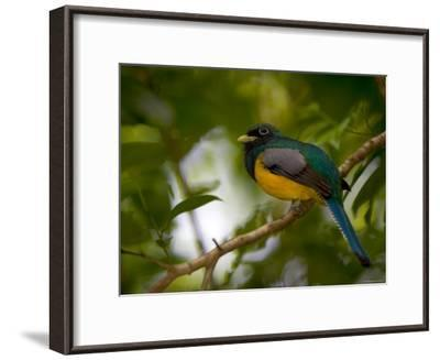 A Male Black-Throated Trogon Perched on a Branch in a Forest. Trogon Rufus-Roy Toft-Framed Photographic Print