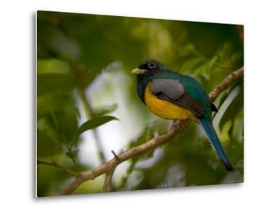 A Male Black-Throated Trogon Perched on a Branch in a Forest. Trogon Rufus-Roy Toft-Metal Print
