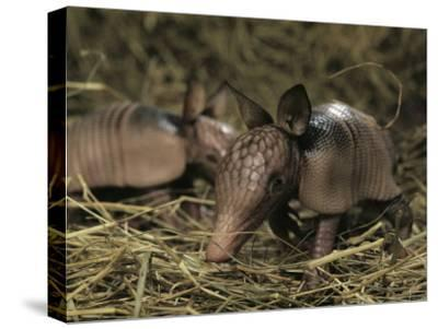 Pair of Juvenile Nine-Banded Armadillos, Melbourne, Florida-Bianca Lavies-Stretched Canvas Print