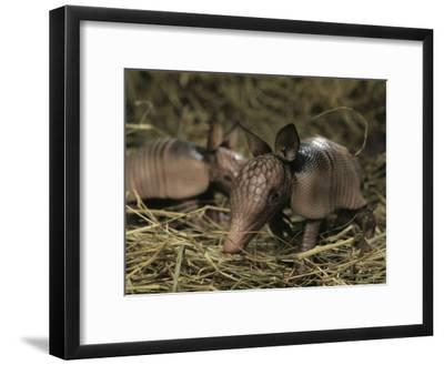 Pair of Juvenile Nine-Banded Armadillos, Melbourne, Florida-Bianca Lavies-Framed Photographic Print