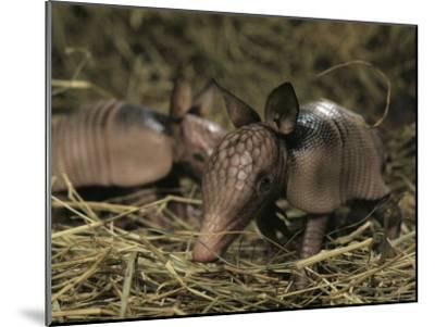 Pair of Juvenile Nine-Banded Armadillos, Melbourne, Florida-Bianca Lavies-Mounted Photographic Print