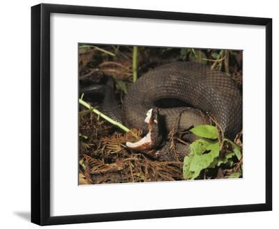 Close-Up of a Cottonmouth, Atchafalaya National Wildlife Refuge, Louisiana--Framed Photographic Print