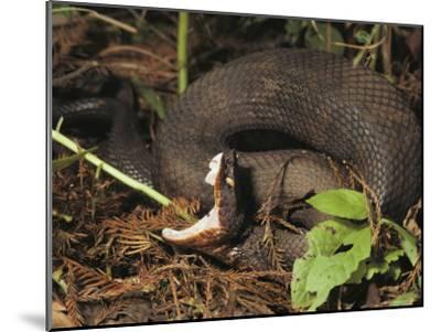 Close-Up of a Cottonmouth, Atchafalaya National Wildlife Refuge, Louisiana--Mounted Photographic Print