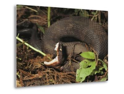 Close-Up of a Cottonmouth, Atchafalaya National Wildlife Refuge, Louisiana--Metal Print
