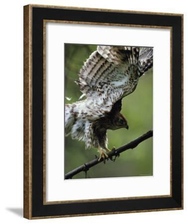 Juvenile Northern Goshawk Works Its Wings, Ready to Fly, Montana-Michael S^ Quinton-Framed Photographic Print