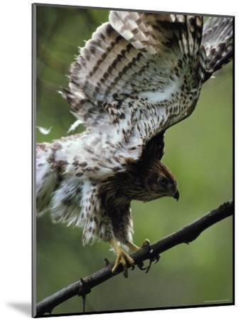 Juvenile Northern Goshawk Works Its Wings, Ready to Fly, Montana-Michael S^ Quinton-Mounted Photographic Print
