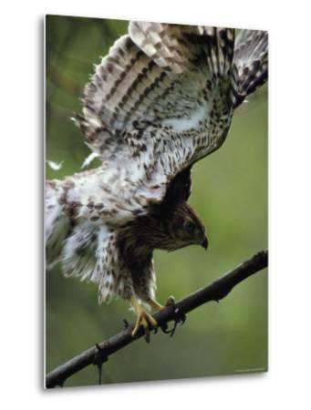 Juvenile Northern Goshawk Works Its Wings, Ready to Fly, Montana-Michael S^ Quinton-Metal Print