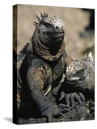 Marine Iguanas, Galapagos Islands-Steve Winter-Stretched Canvas Print