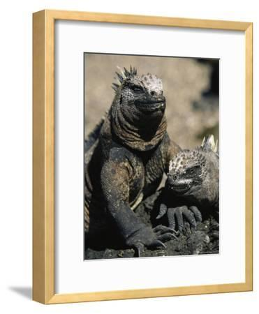Marine Iguanas, Galapagos Islands-Steve Winter-Framed Photographic Print