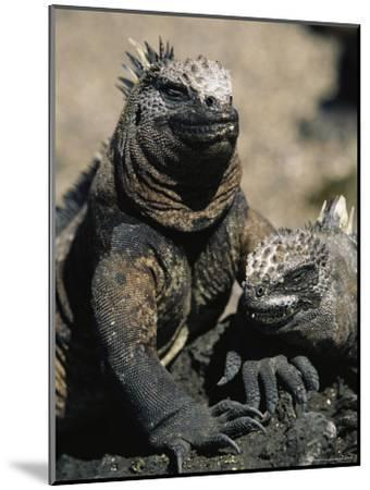 Marine Iguanas, Galapagos Islands-Steve Winter-Mounted Photographic Print