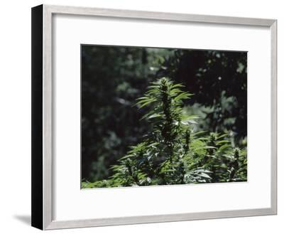 The Bud and Leaves of a Marijuana Plant, Humboldt County, California-James P^ Blair-Framed Photographic Print