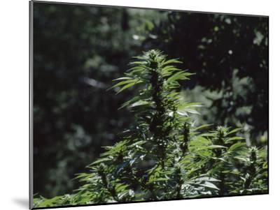 The Bud and Leaves of a Marijuana Plant, Humboldt County, California-James P^ Blair-Mounted Photographic Print