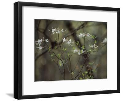 Wild Azaleas Bloom in Florida's Oseola National Forest, Florida-James P^ Blair-Framed Photographic Print
