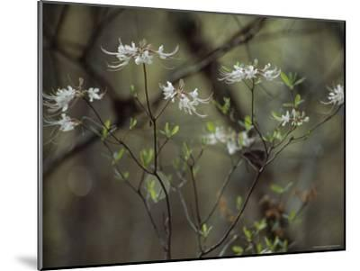Wild Azaleas Bloom in Florida's Oseola National Forest, Florida-James P^ Blair-Mounted Photographic Print