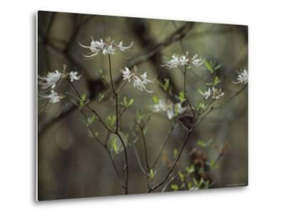 Wild Azaleas Bloom in Florida's Oseola National Forest, Florida-James P^ Blair-Metal Print
