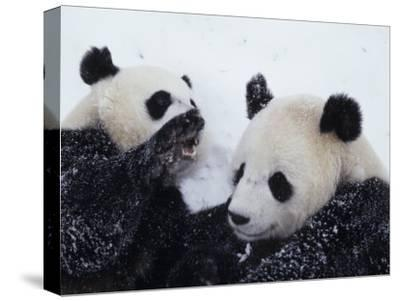 Pandas at the National Zoo in Washington, DC-Taylor S^ Kennedy-Stretched Canvas Print