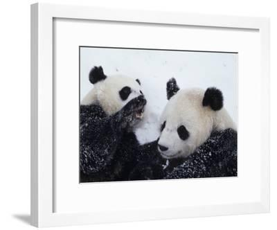 Pandas at the National Zoo in Washington, DC-Taylor S^ Kennedy-Framed Photographic Print