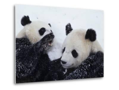 Pandas at the National Zoo in Washington, DC-Taylor S^ Kennedy-Metal Print