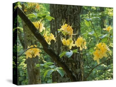 Watoga State Park, West Virginia-James P^ Blair-Stretched Canvas Print