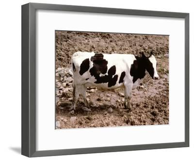 A Classic Dairy Cow in Full Profile-Stephen St^ John-Framed Photographic Print