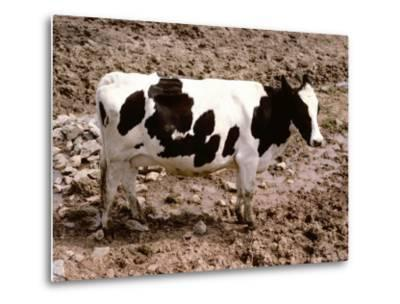 A Classic Dairy Cow in Full Profile-Stephen St^ John-Metal Print