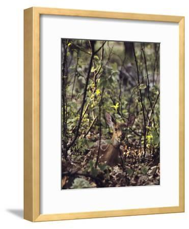 Whitetail Fawn Hides from Predators, Shenandoah National Park, Virginia-Sam Abell-Framed Photographic Print