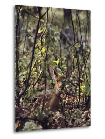 Whitetail Fawn Hides from Predators, Shenandoah National Park, Virginia-Sam Abell-Metal Print