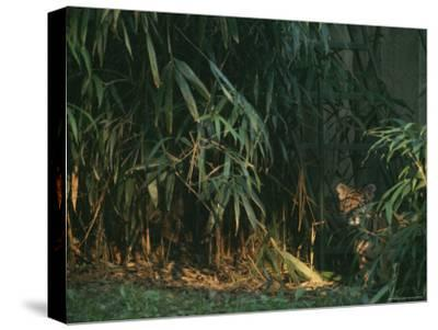 A Tiger Cub Looks Shyly Out from Behind a Screen of Bamboo-Taylor S^ Kennedy-Stretched Canvas Print