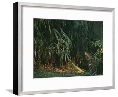 A Tiger Cub Looks Shyly Out from Behind a Screen of Bamboo-Taylor S^ Kennedy-Framed Photographic Print
