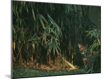 A Tiger Cub Looks Shyly Out from Behind a Screen of Bamboo-Taylor S^ Kennedy-Mounted Photographic Print