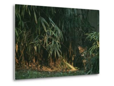 A Tiger Cub Looks Shyly Out from Behind a Screen of Bamboo-Taylor S^ Kennedy-Metal Print