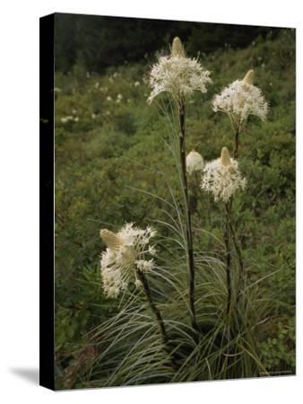 Bear Grass Flowers, Mount Hood National Forest, Oregon-Phil Schermeister-Stretched Canvas Print