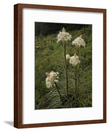 Bear Grass Flowers, Mount Hood National Forest, Oregon-Phil Schermeister-Framed Photographic Print