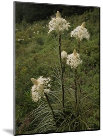 Bear Grass Flowers, Mount Hood National Forest, Oregon-Phil Schermeister-Mounted Photographic Print