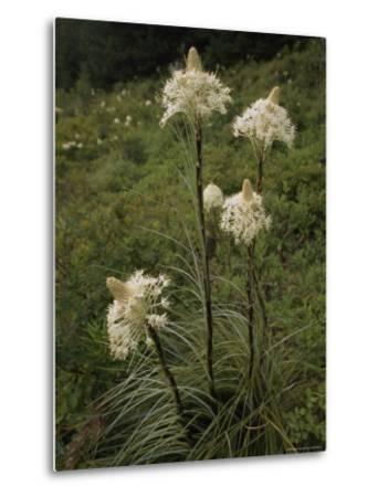Bear Grass Flowers, Mount Hood National Forest, Oregon-Phil Schermeister-Metal Print