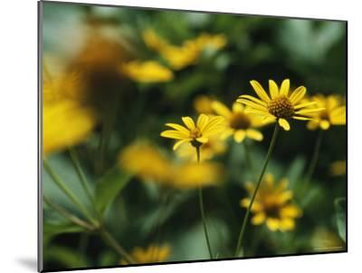 Daisies-Taylor S^ Kennedy-Mounted Photographic Print