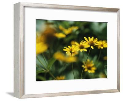 Daisies-Taylor S^ Kennedy-Framed Photographic Print