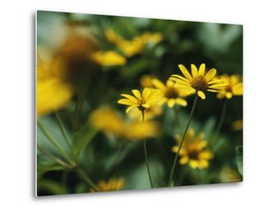 Daisies-Taylor S^ Kennedy-Metal Print