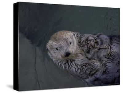 A Sea Otter Gazes at the Camera-Taylor S^ Kennedy-Stretched Canvas Print