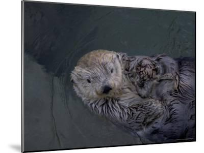 A Sea Otter Gazes at the Camera-Taylor S^ Kennedy-Mounted Photographic Print