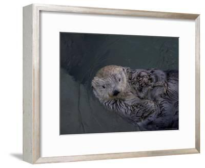A Sea Otter Gazes at the Camera-Taylor S^ Kennedy-Framed Photographic Print